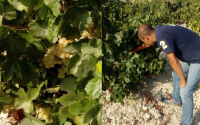 Comienzo del muestreo y seguimiento de la uva